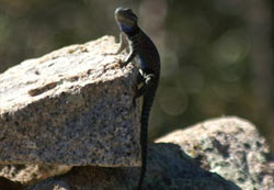 Lizard in Madera Canyon