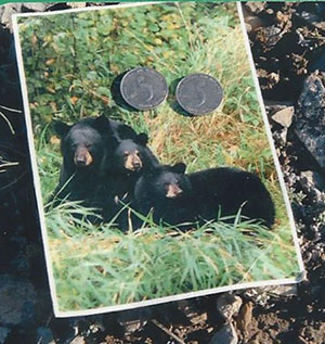 Postcard of Black Bears