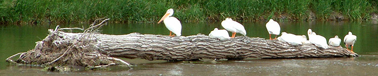 Pelicans at Fairweather Fishing Acces in Montana