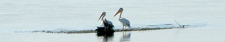 Pelicans on Missouri River