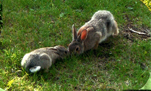 Rabbit Pair