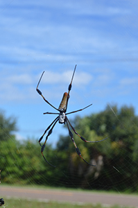Banana Spider wo Web