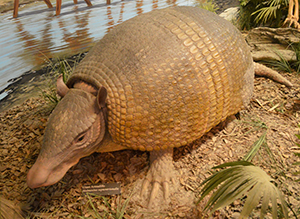 Great Armadillo