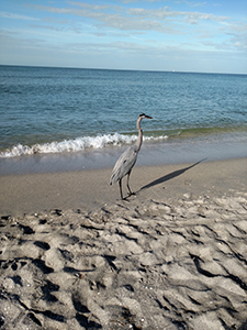 Heron on Turtle Beach