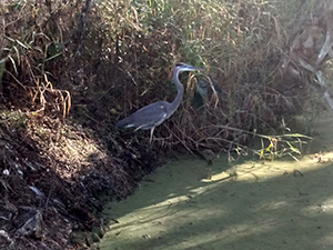 Heron in the Marsh