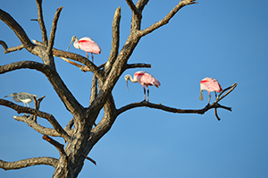 Spoonbills on Tree