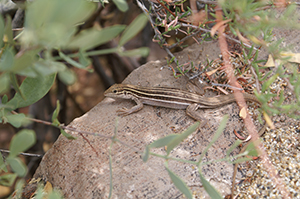 Roosevelt Lake lizard