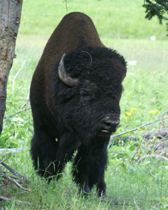 Buffalo closeup 2