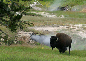 Buffalo at Hot Spring
