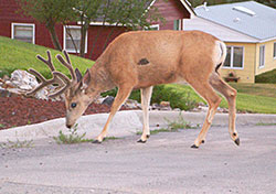 Buck in the city of Helena, Montana